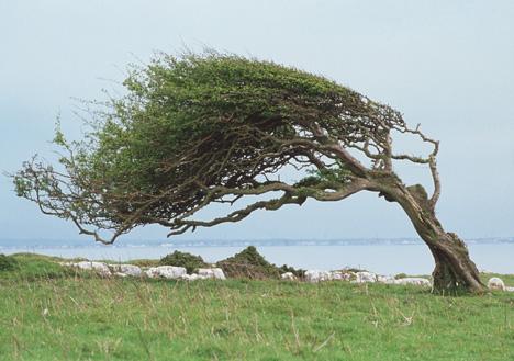 E158046-Wind-blown_tree-SP.jpg